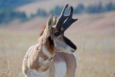 Antelope Custer State Park Wildlife Loop