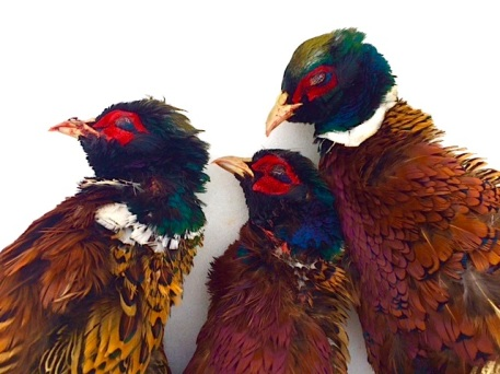 Three roosters on the last day of pheasant season