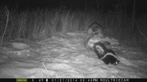 Skunk and raccoon circle around a deer carcass