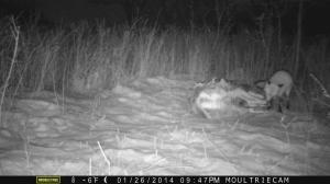 Curious fox investigates a deer carcass