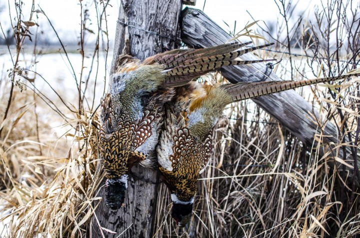 Two late season pheasants near Volga, SD. Photo credit: Derek Baune